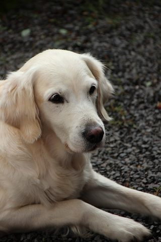 golden-retriever-3116977__480