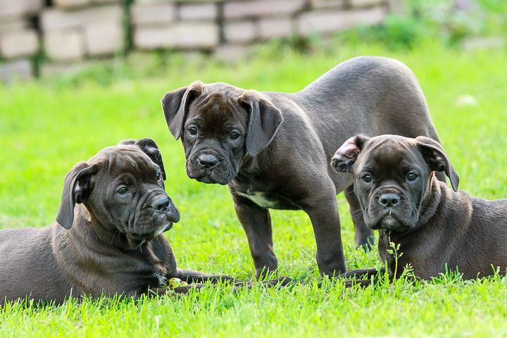 puppy-1785772__480